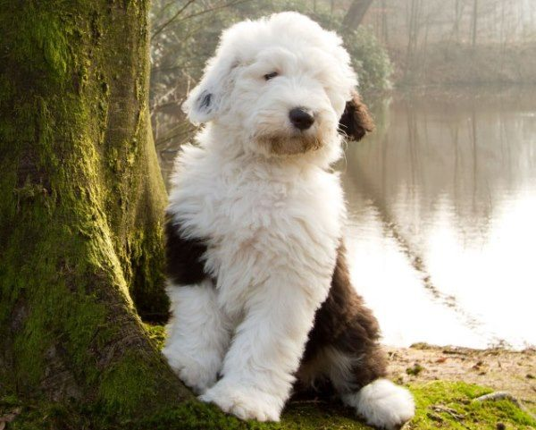 Cute White Dogs Wallpapers 29 Of The Cutest Old English Sheepdog Pictures Ever Pbh2