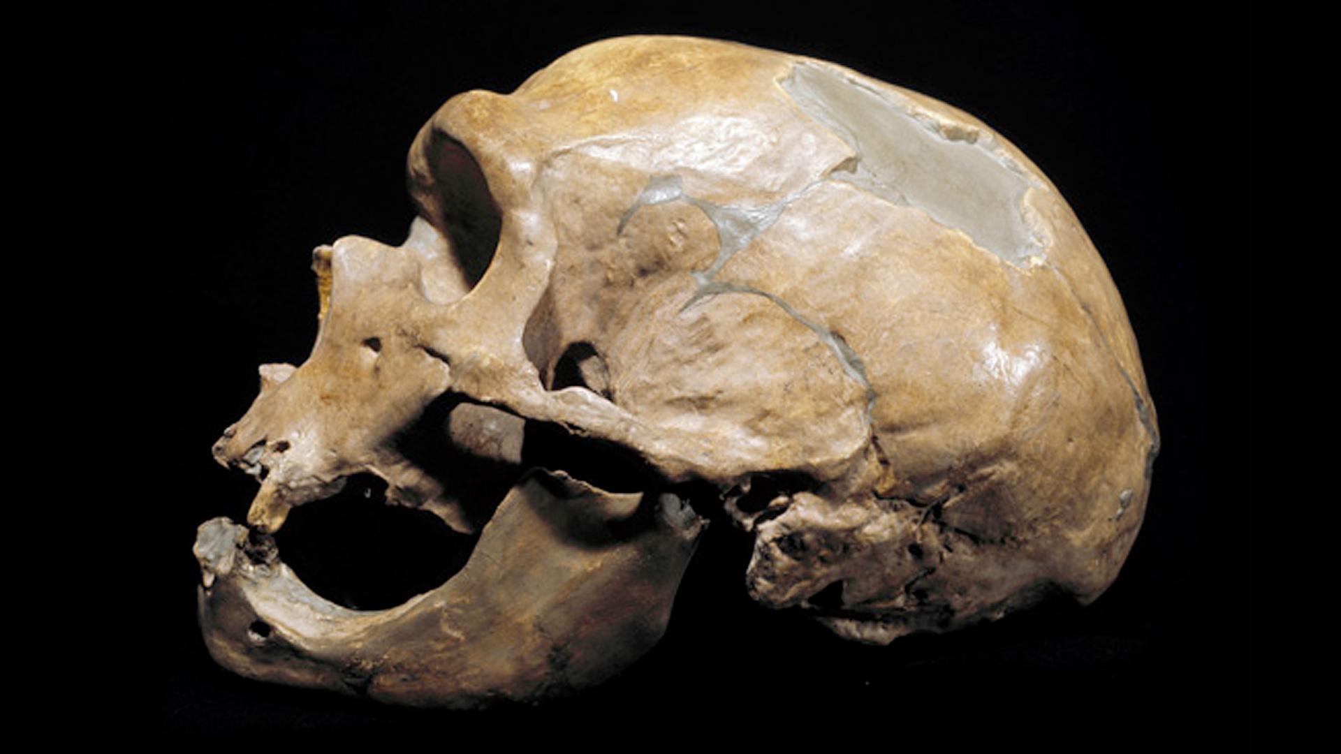 Skeleton Head Wallpaper 3d Nova Official Website Are Neanderthals Human