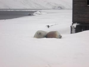 Weddell Sea Lions taking a break from hunting.