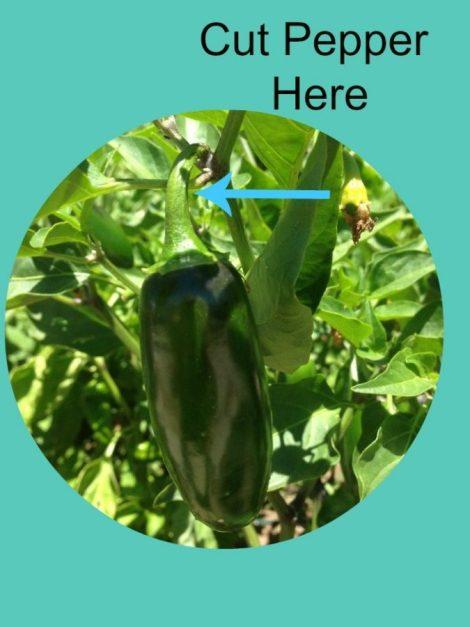 Cut Pepper Here