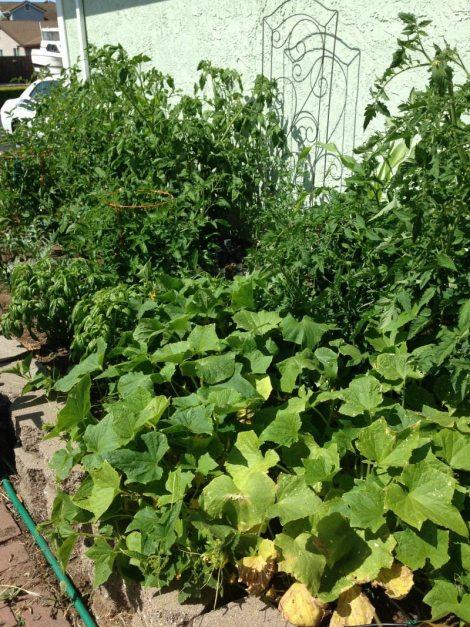 Vegetable Garden May 2015