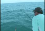 Nouvelle technique de pêche pour ce barracuda !