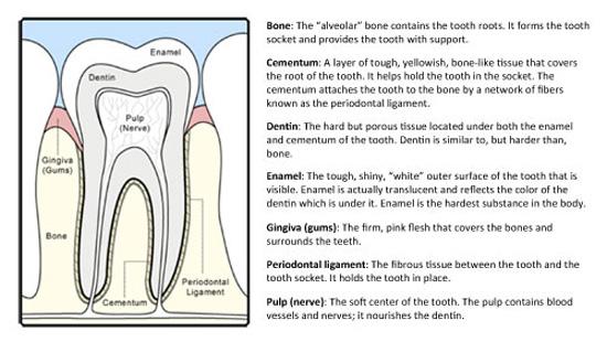 dental teeth chart - Heartimpulsar
