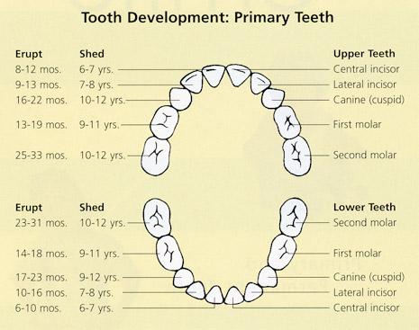 Tooth Basics Learn About Teeth from Frequently Asked Questions (FAQs