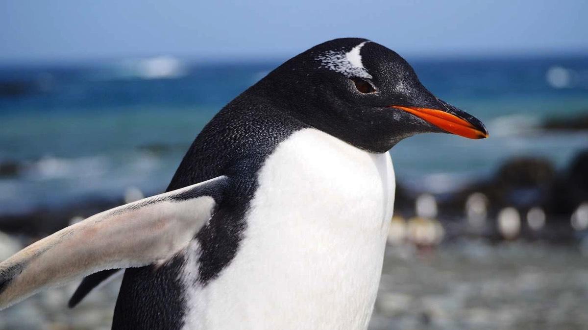 Black Cat Wallpaper Gentoo Penguins