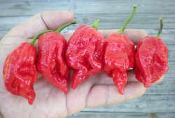 Dazzling Pot Barrackpore Hottest Peppers Guide Eating On Edge Pepperscale Pepper X Scoville Scale Pepper X Scoville Units