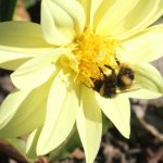 bumble_bee_yellow_flower