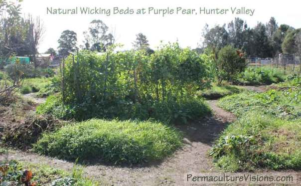 Purple Pear NSW use-climbing-annuals-as-windbreak--natural-wicking