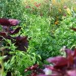 Associations de plantes au jardin