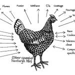 Permaculture Poule Comportement