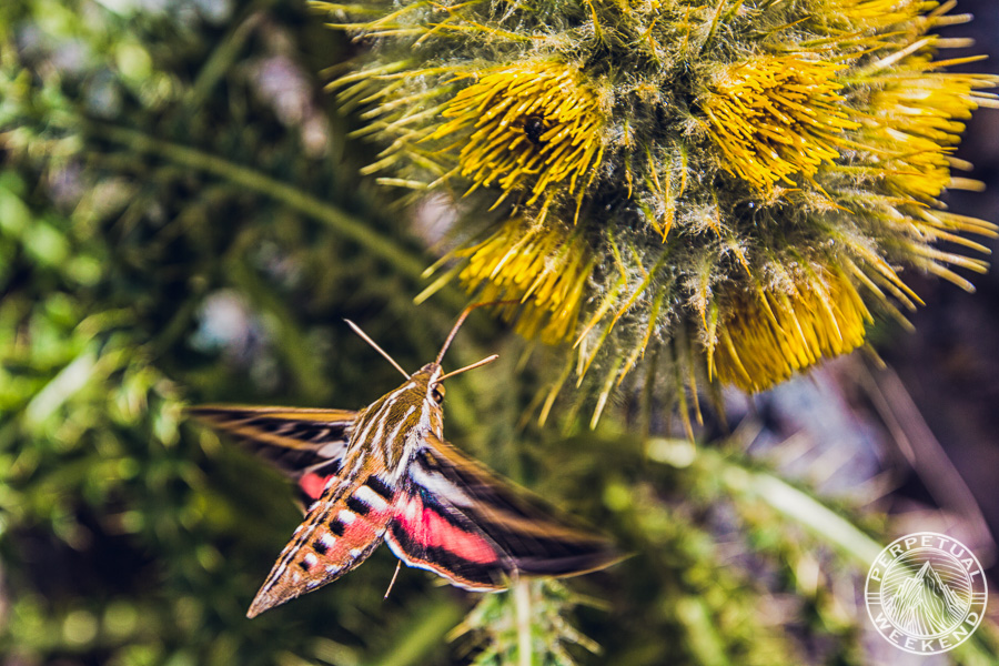 Whitelined sphinx (Hyles lineata) moth on Mountain Thistle (Cirsium scopulorum)