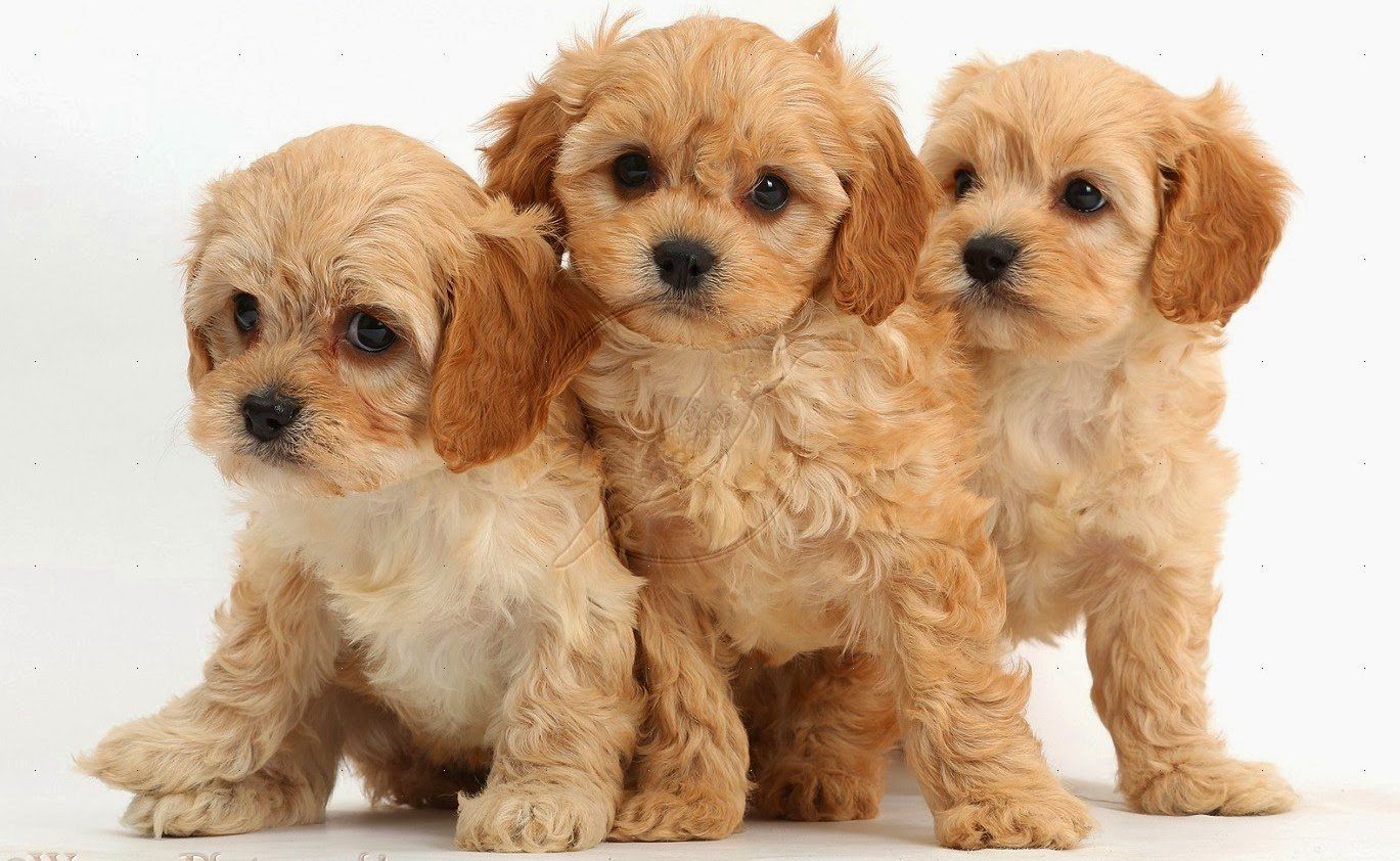 Cute Wallpapers Of Kittens And Puppies Cava Poo Chon Perrosamigos Com