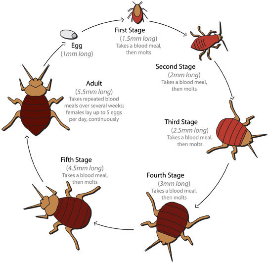Bed Bug Life Cycle \u2013 National Bed Bug Registry Database and Maps