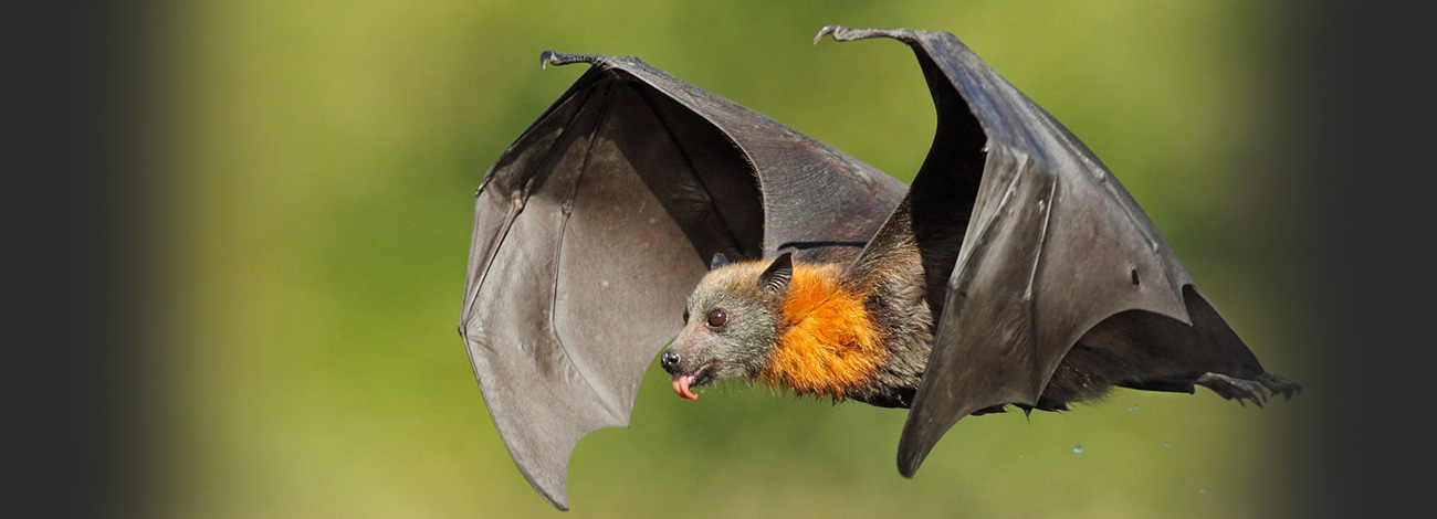Cute Baby Animal Pictures Wallpapers Bat Bites And Their Impact Pest Removal Guide