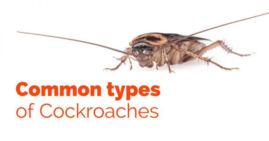 Common Types of Cockroaches - Pest Survival Guide
