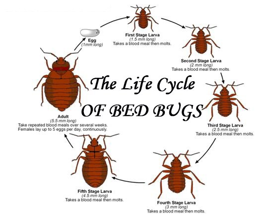 Everything You Need to Know About the Life Cycle of Bed Bugs