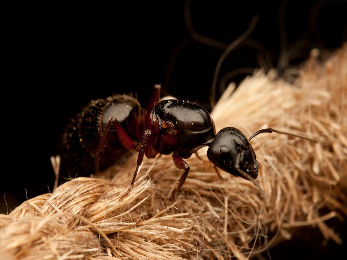 Carpenter Ants How To Get Rid Of Black Carpenter Ants