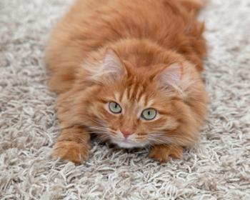 How To Stop Your Cat From Clawing Carpet