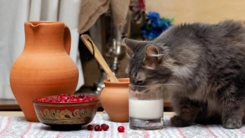 Is milk good for cats? Can you give milk to your cat?