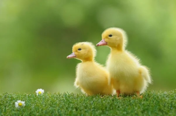 Cute Small Baby Wallpapers Hd Buying A Duck Or Duckling Could Mean A Lifetime Of Misery