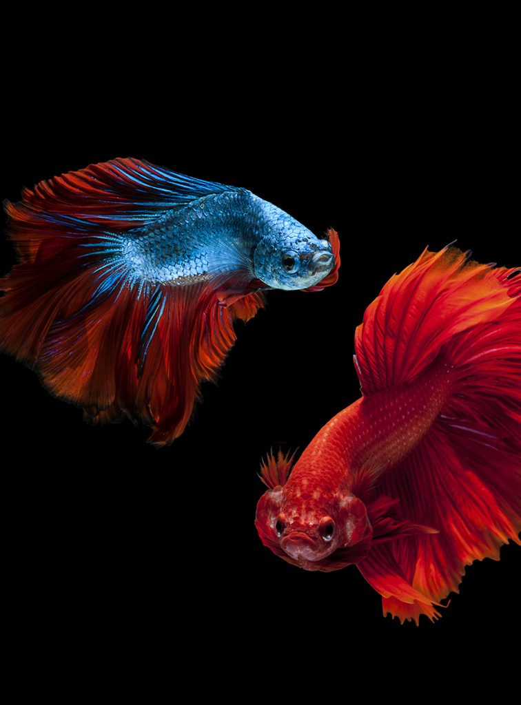 My 3d Fish Live Wallpaper Free Going Big With Bettas Pet Age