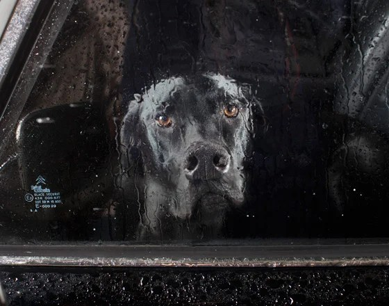 Photos of Dogs Staring Out Car Windows gp5xa585d