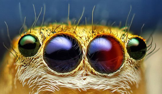 Jumping Spiders Eyes May Inspire New Camera Technologies spidereyes mini