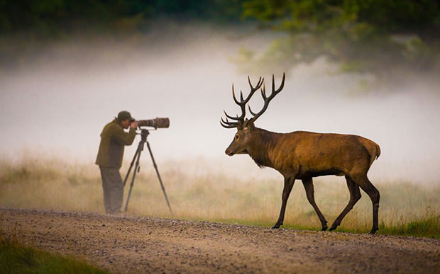 Deer Strolls by Oblivious Photographer deer mini