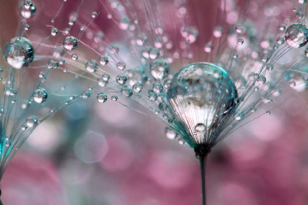 Stunning Macro Photos of Dew Drops on Dandelions dew3 mini