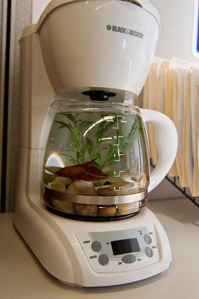 Coffee Pot Aquarium   PetDIYs.com