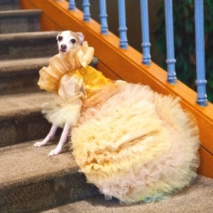 Golden Dream Dog Dress