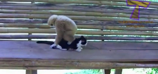 Monkeys relentlessly tormenting dogs and cats