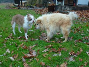 Scrappy playing with Fiona the day before he was laid to rest.