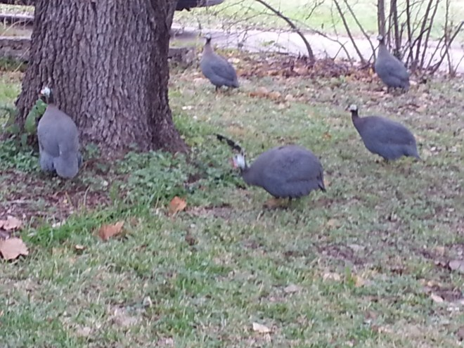 Guinea fowl in my neighborhood