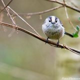 Long-tailed Tit (2)