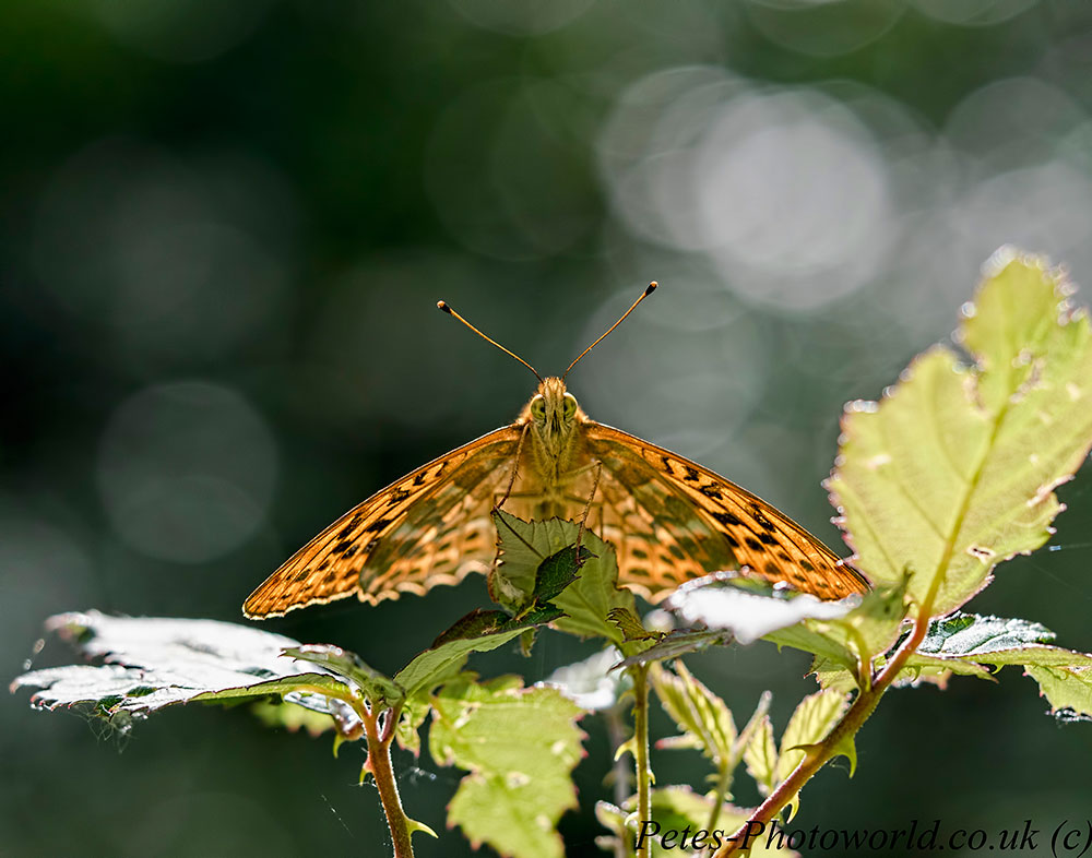 Butterflies and a Pair of Damsels