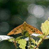 Silver-washed Fritillary butterfly head on
