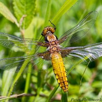 A Broad-bodied Chaser and other close up photo's
