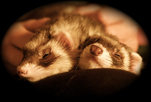 25 Ferret Myths and Misconceptions