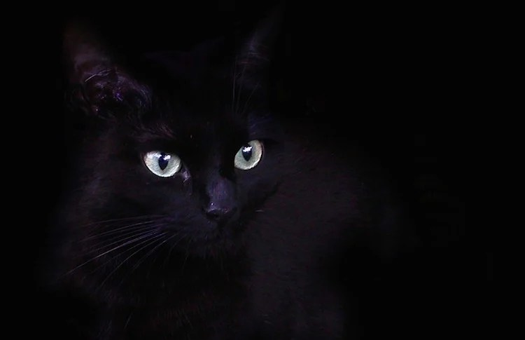Halloween Black Cat Wallpaper How Dangerous Is Halloween For Black Cats Petful