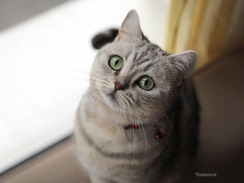 Large Of Cat Has Bad Breath