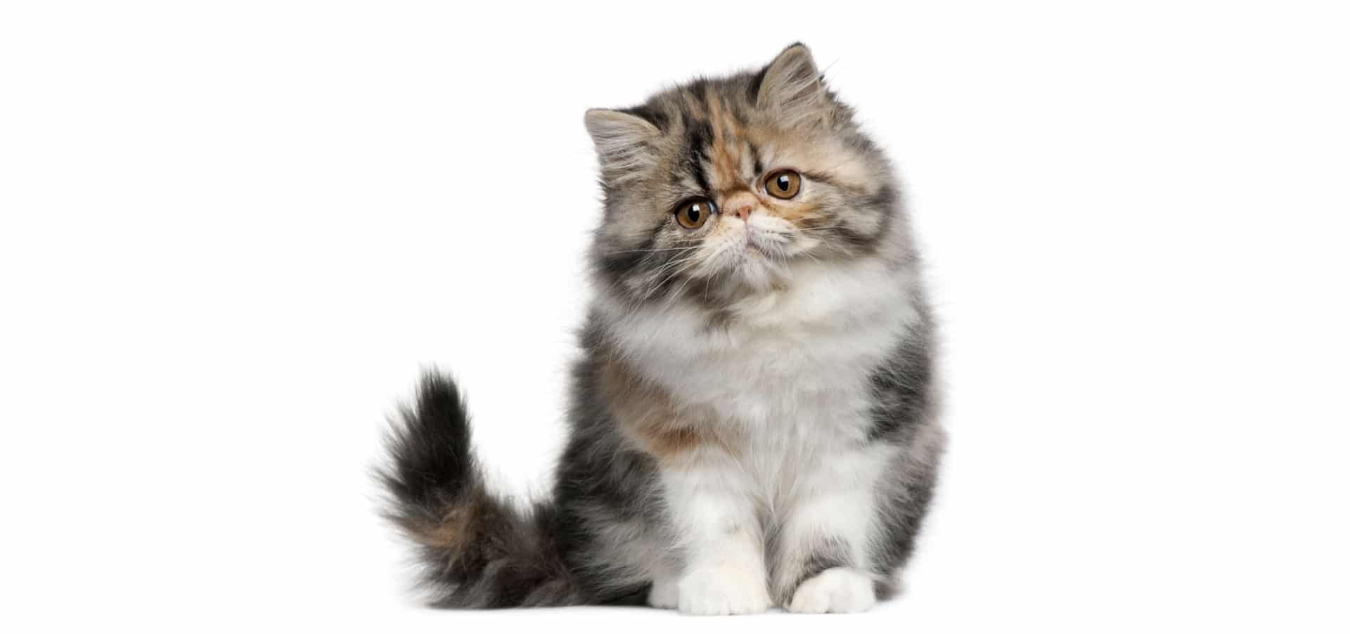 Animal Farm Wallpaper Persian Cat Insurance Reviews And Comparisons