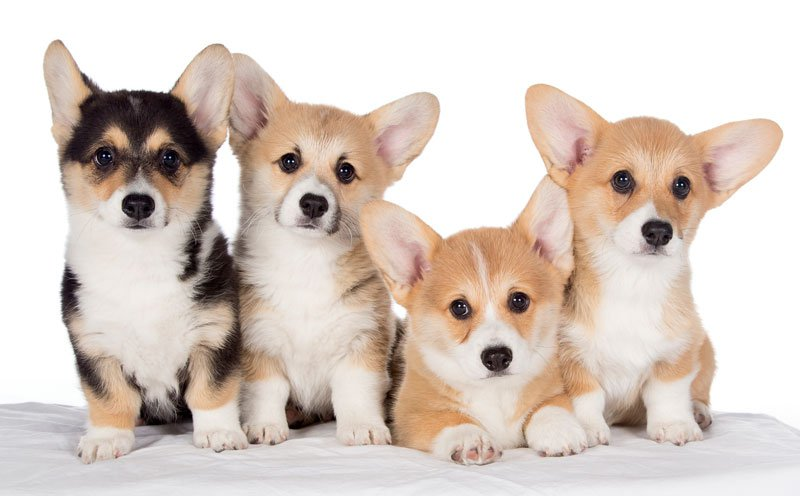 Cute Little Puppies Wallpapers Corgi Puppies Aren T Just For Royalty But Your Family Too
