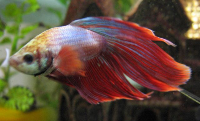 Common Betta Fish Diseases and Treatments | PetLvr Blog for Pet Lovers
