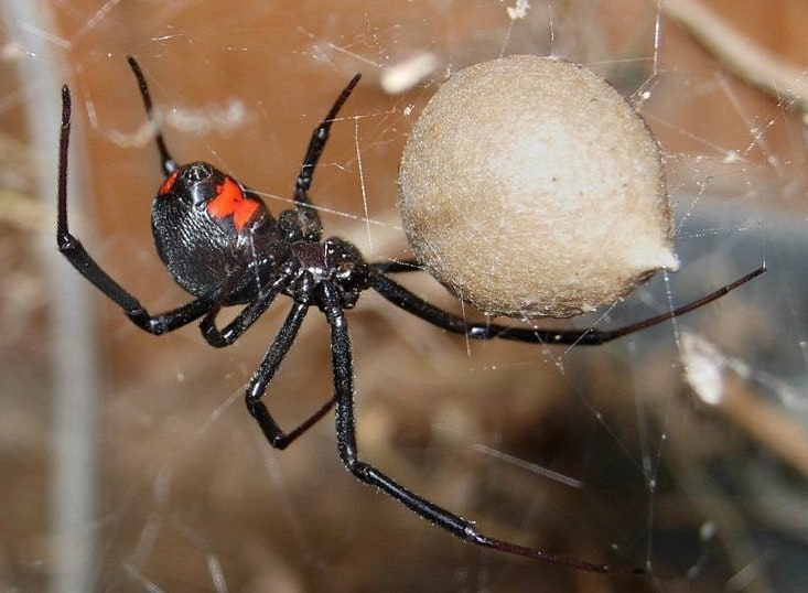 Dog Black Widow Spider Bite Treatment - Black Widow Bite on Dog petMD