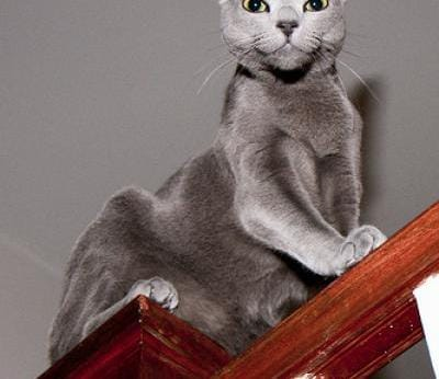 Russian Blue Cats Russian Blue Cat Breed Info  Pictures petMD
