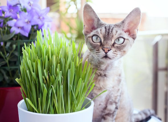 What Is Cat Grass? Learn How to Grow Cat Grass Indoors petMD
