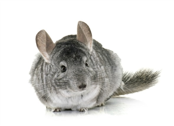 6 Fun Facts About Chinchillas petMD