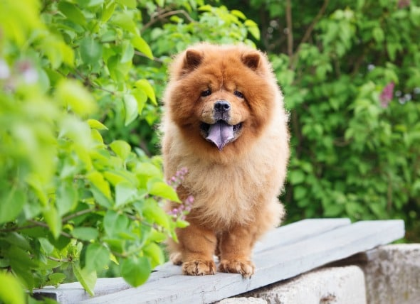 Iphone 4 Car Wallpapers Hd 5 Fun Facts About The Chow Chow Petmd