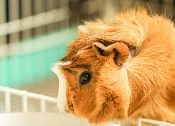 Lice Infestation in Guinea Pigs petMD